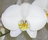 6'' Large White.JPG