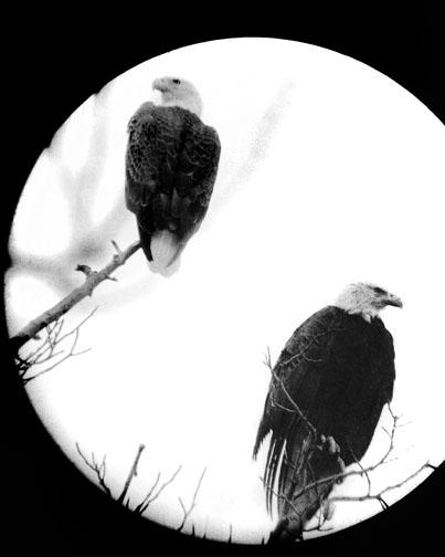Bald Eagles,Chesapeake Bay, MD  (via telescope)