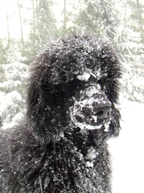 blizzard of 2016. leo's 1st head in the snow