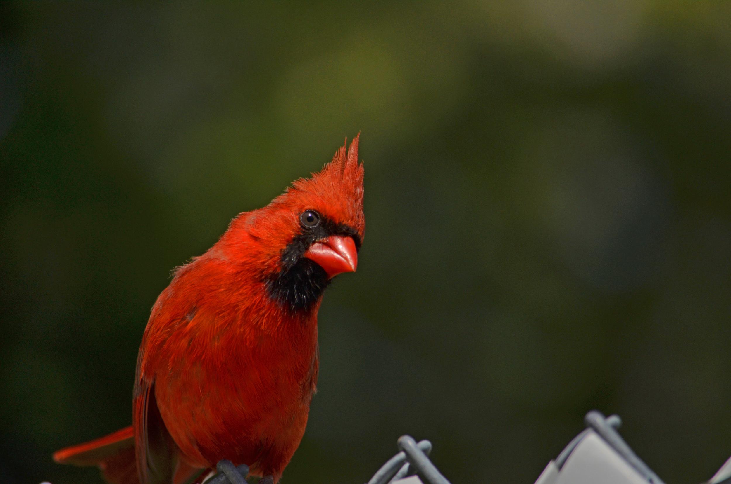 Cardinals Salem (23).jpg