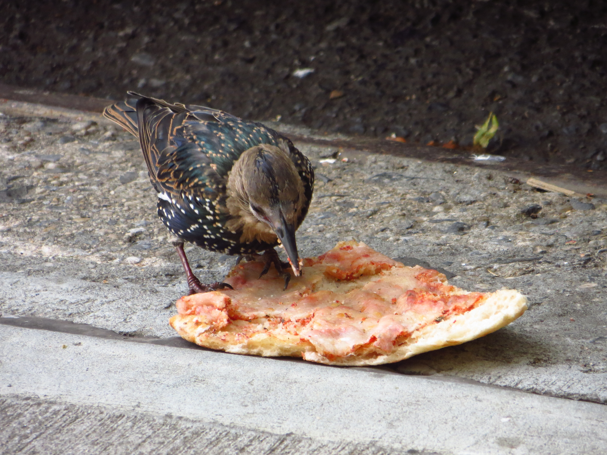 Starling w/pizza