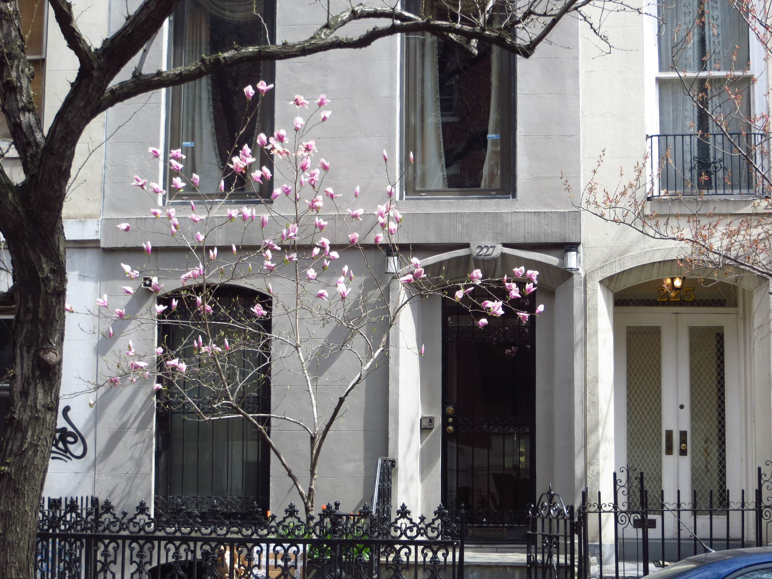 Blooming tree by townhouse