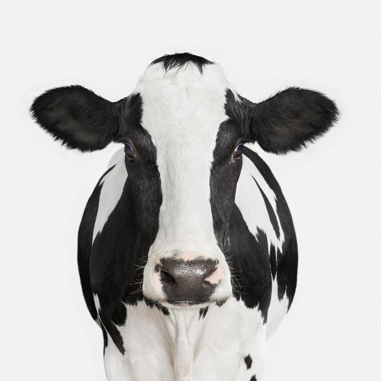 104-Dairy+Cow+No.+1.jpg