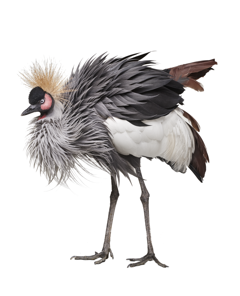 Randal Ford African_Crane_2.png