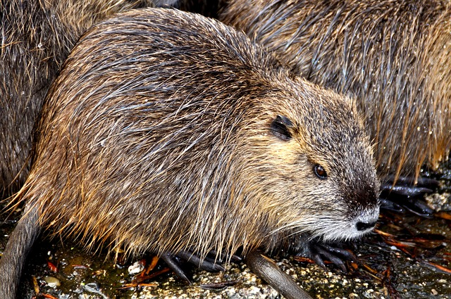 """The """"natural"""" flavors in your meal replacements are produced from castoreum. Castoreum actually comes from the castor sacs of the beaver. These castor sacs are located within the animal's anus."""