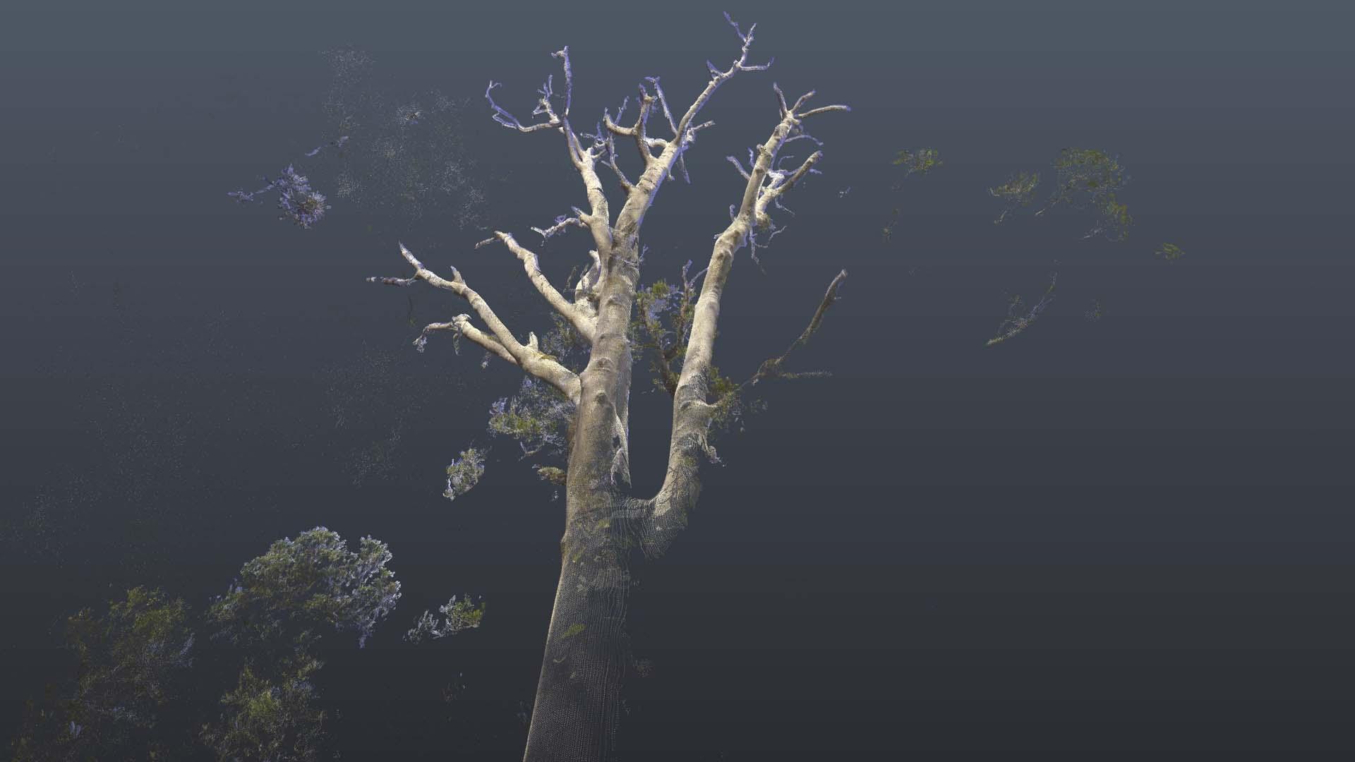 Kauri_Dead tree 3.jpg