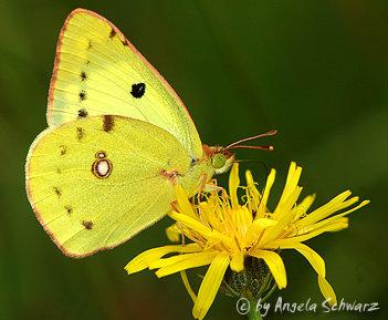 Schmetterling_gold_8.jpg