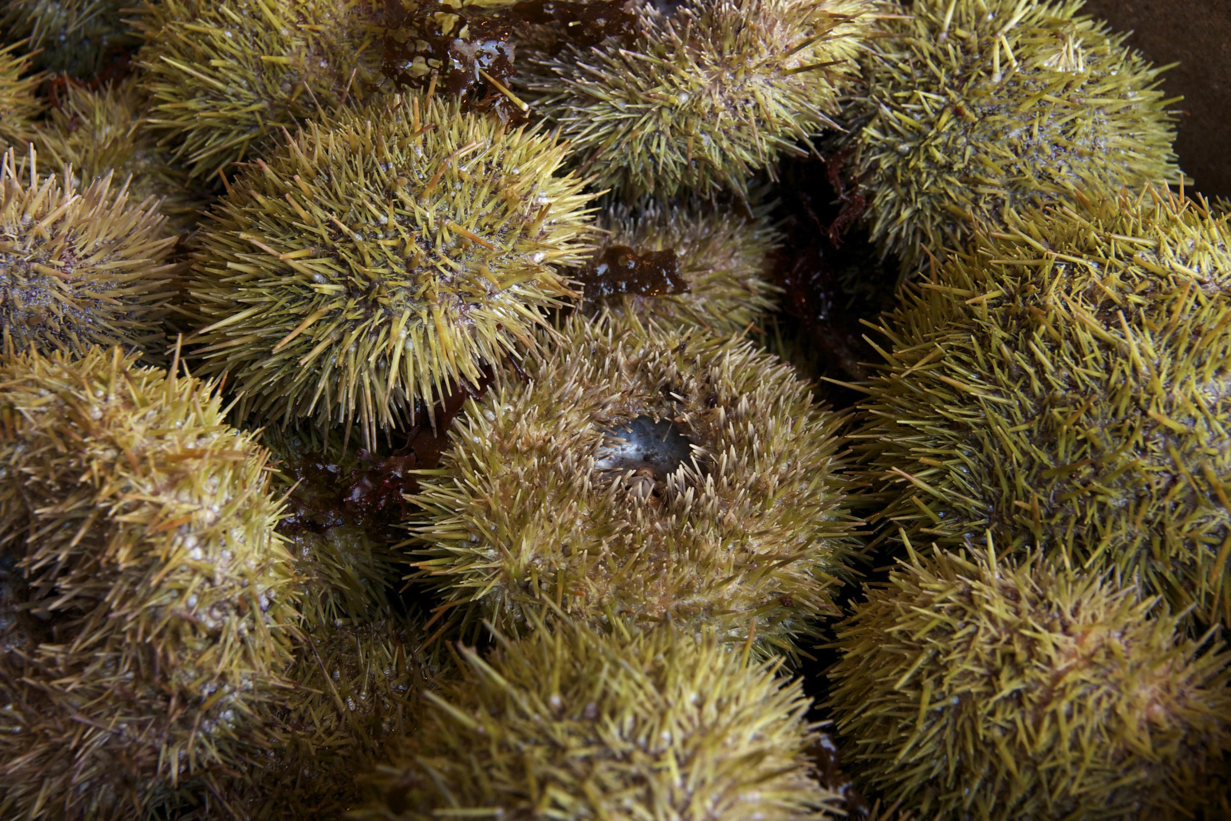 Pangea Shellfish Sea Urchin.jpg