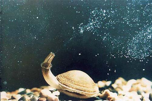 Female manila clam spawning in the water. Photo credit: www.fao.org.