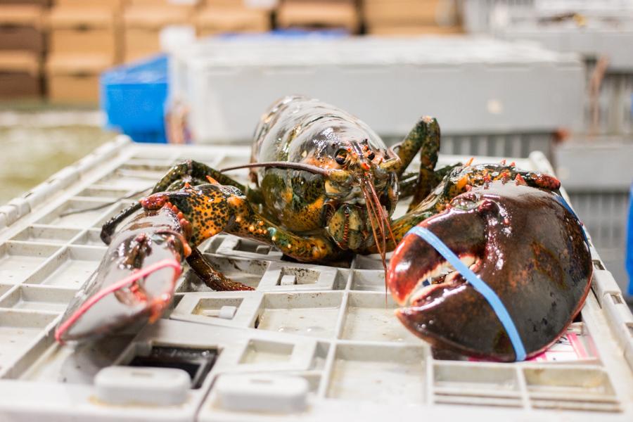 bar harbor lobster pangea shellfish