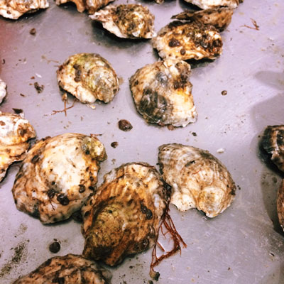 west falmouth oyster