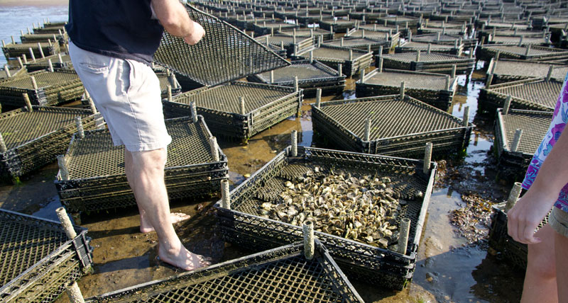 the big rock oyster farm in east dennis is located on a beach, and They use a tray culture method.