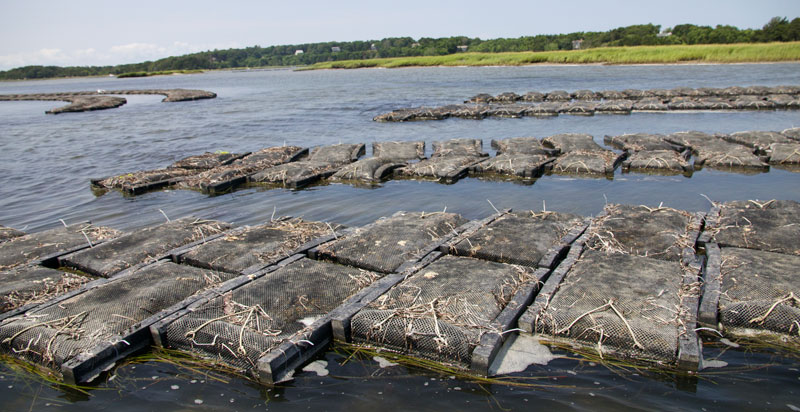 Peter Orcutt's Pleasant Bay Oyster Farm uses floating mesh bags that constantly stay on the surface.