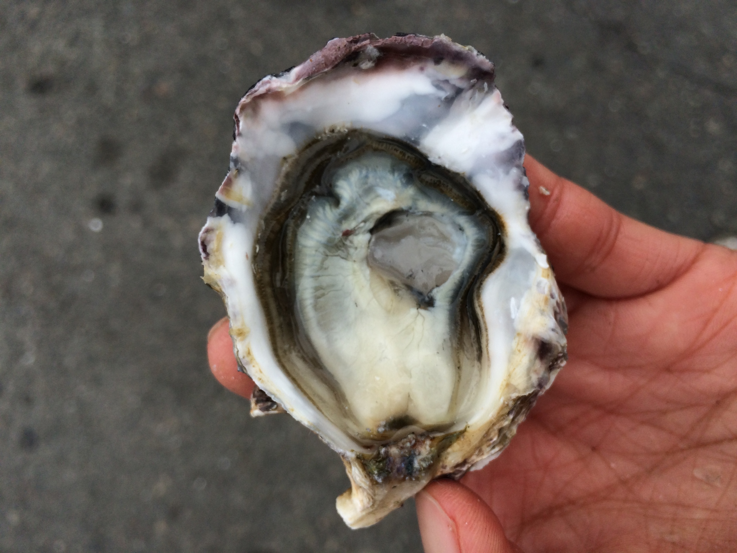 coromandel oyster pangea shellfish