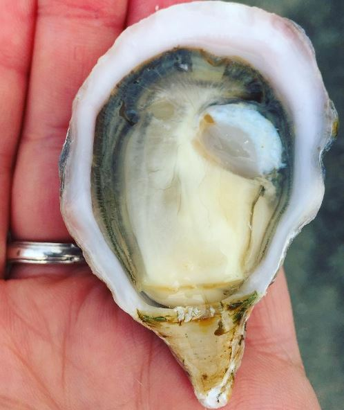 The kusshi - the 'ultimate' oyster