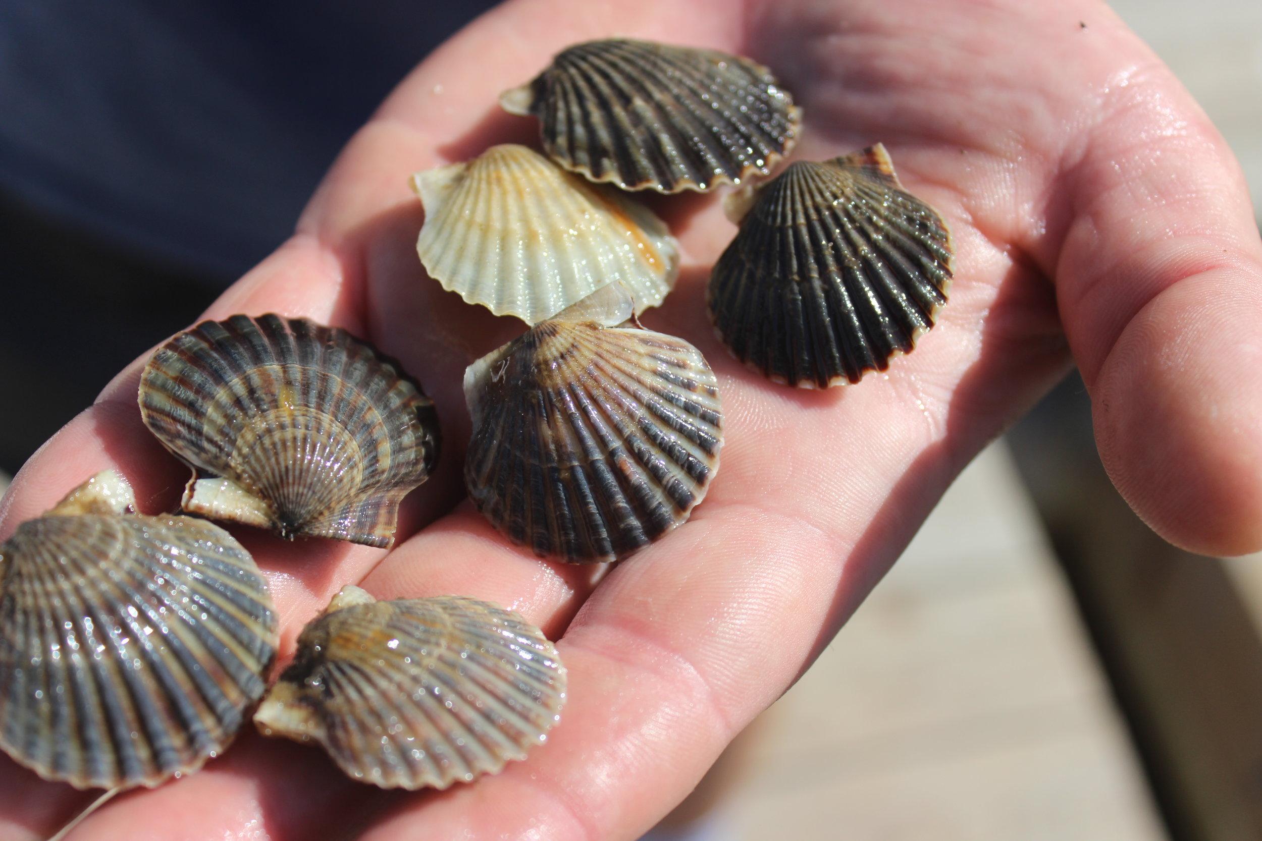 Juvenile bay scallops fresh from the downweller