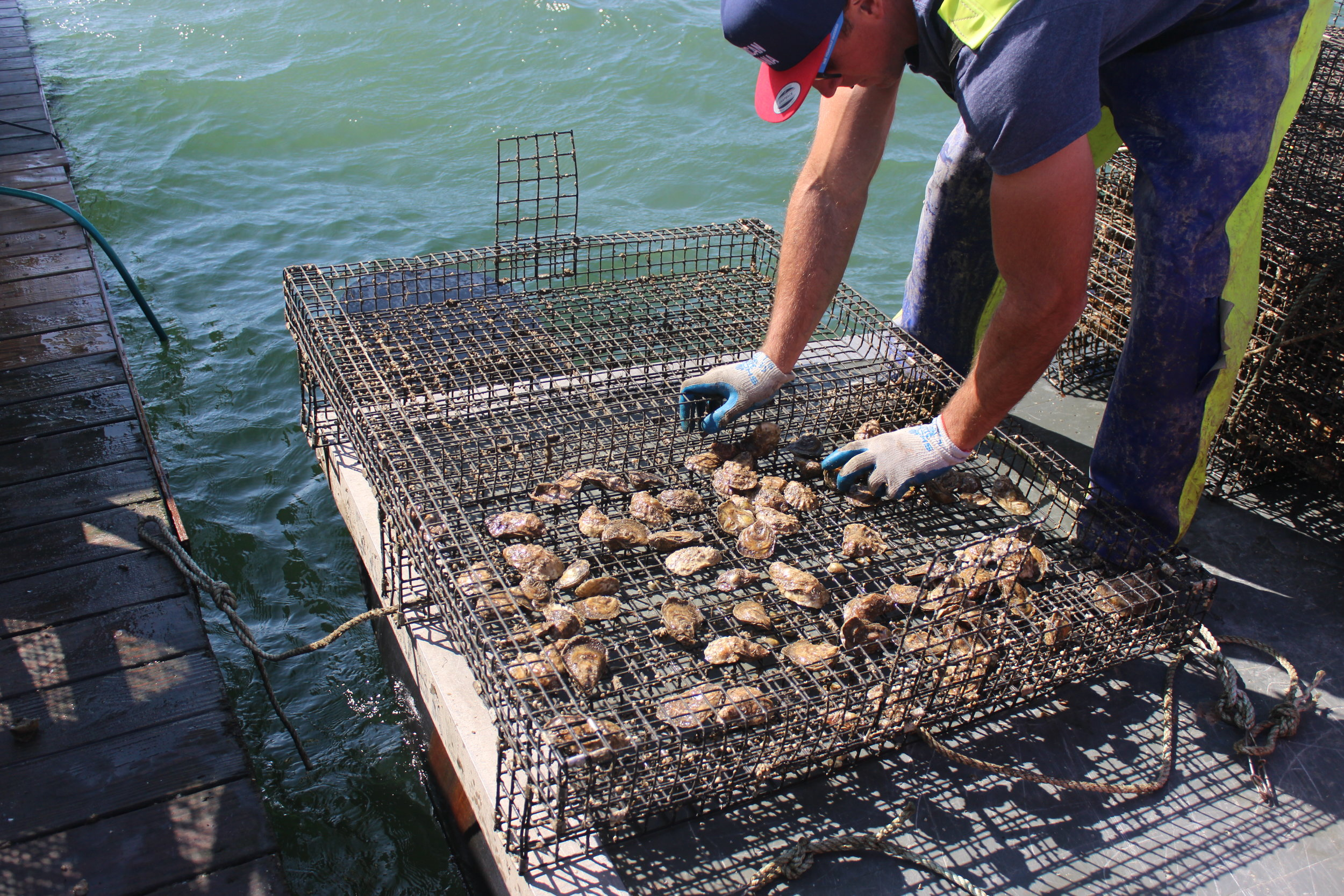 spreading out the oysters for maximum growth opportunity