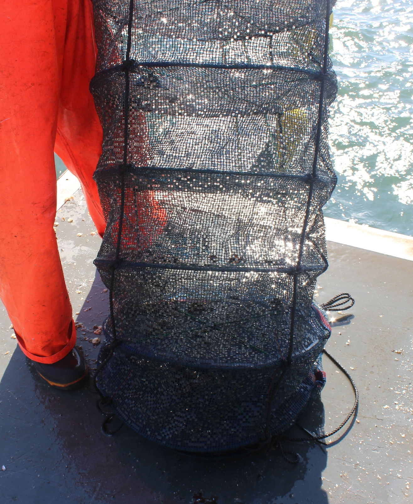 a latern net containing bay scallop trials