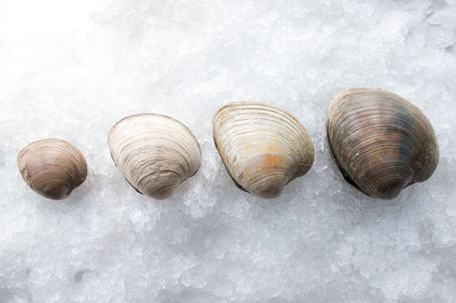 From L to R: countneck, topneck cherrystone, quahog