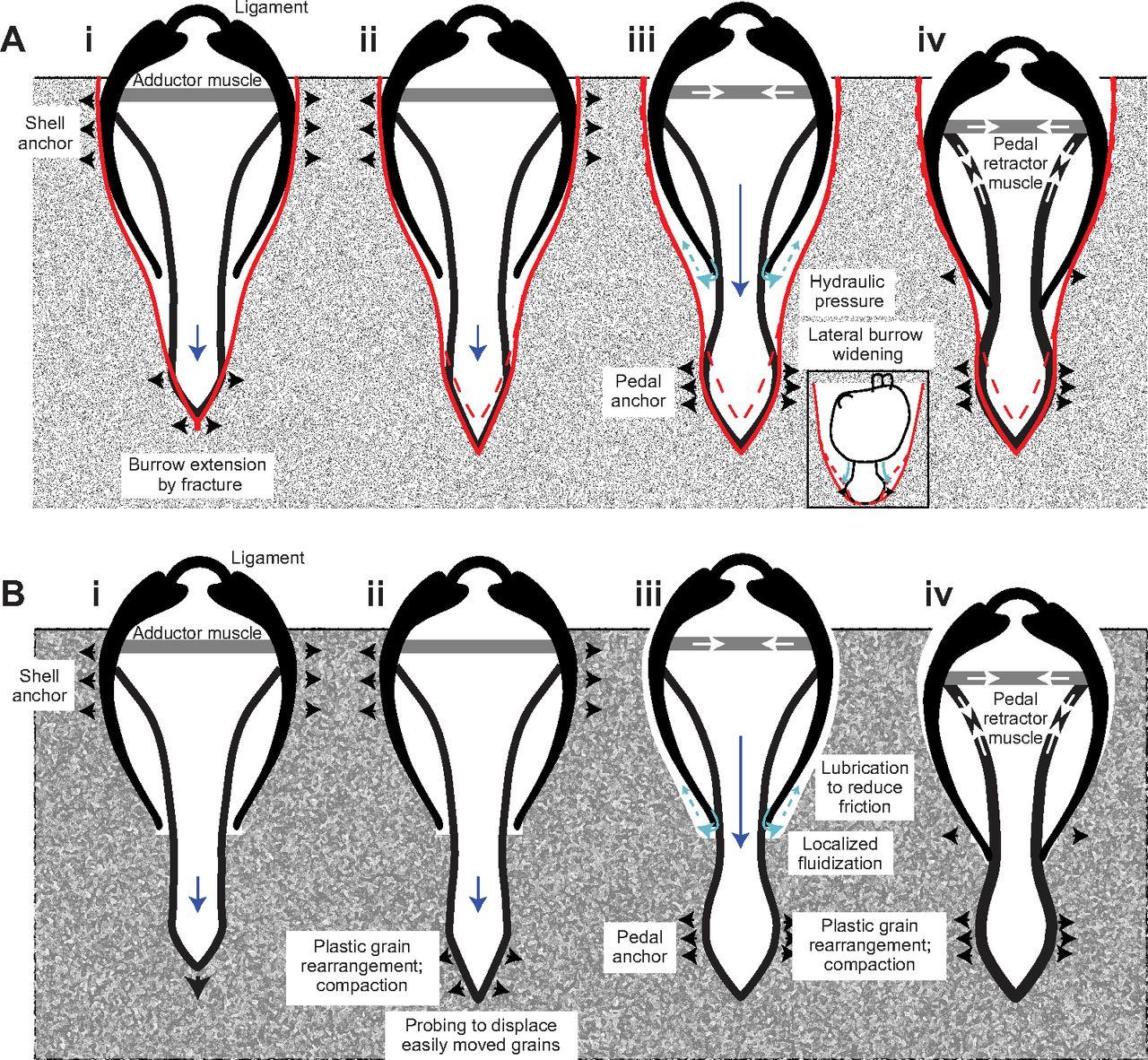 the digging mechanics of hard shell clams