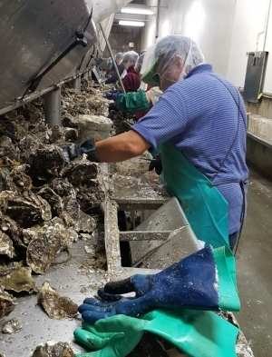 A shucker at HIlton's making fast work of the oysters in the hopper above using a knife with a straight thick blade.  photo: Coast seafoods company