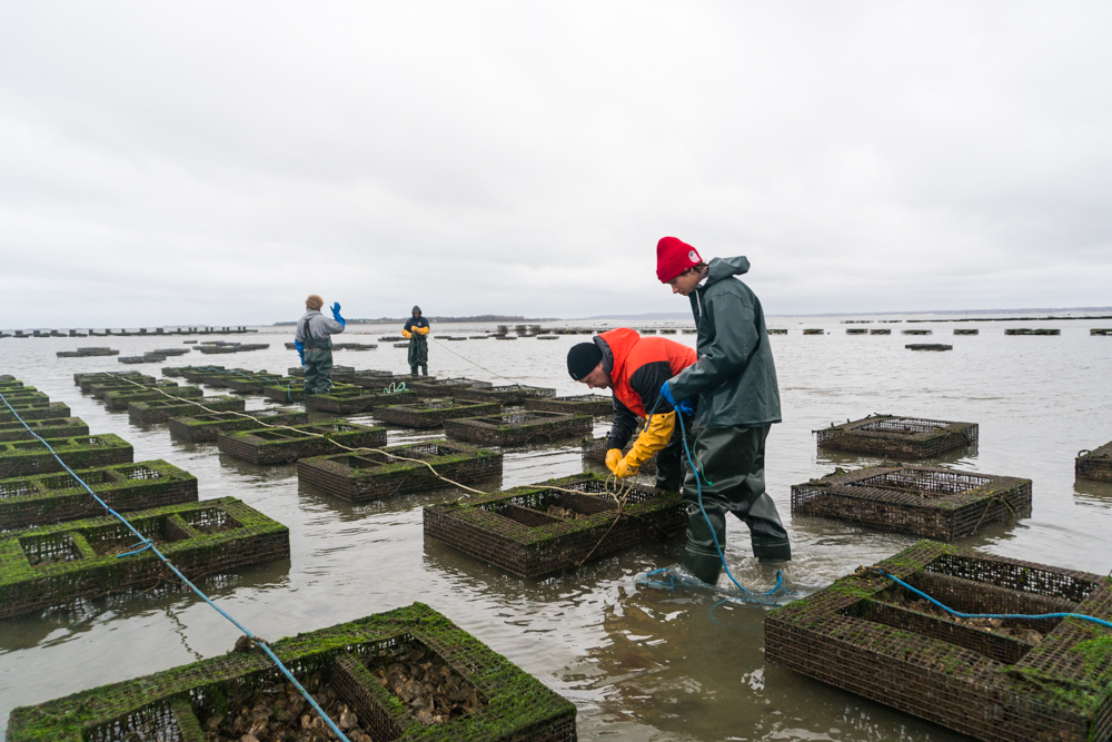 Preparing oysters for winter on the Standish Shore Oyster Farm