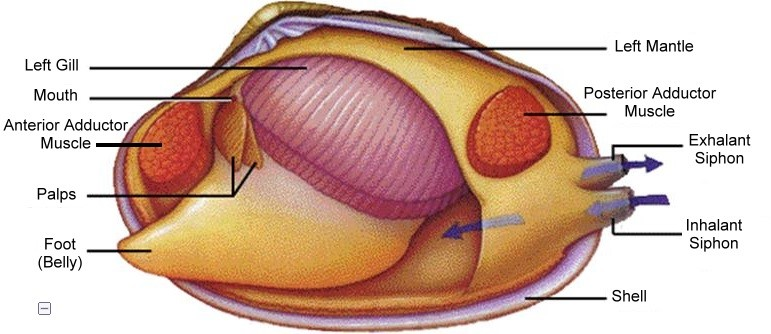 surf clam diagram.jpg