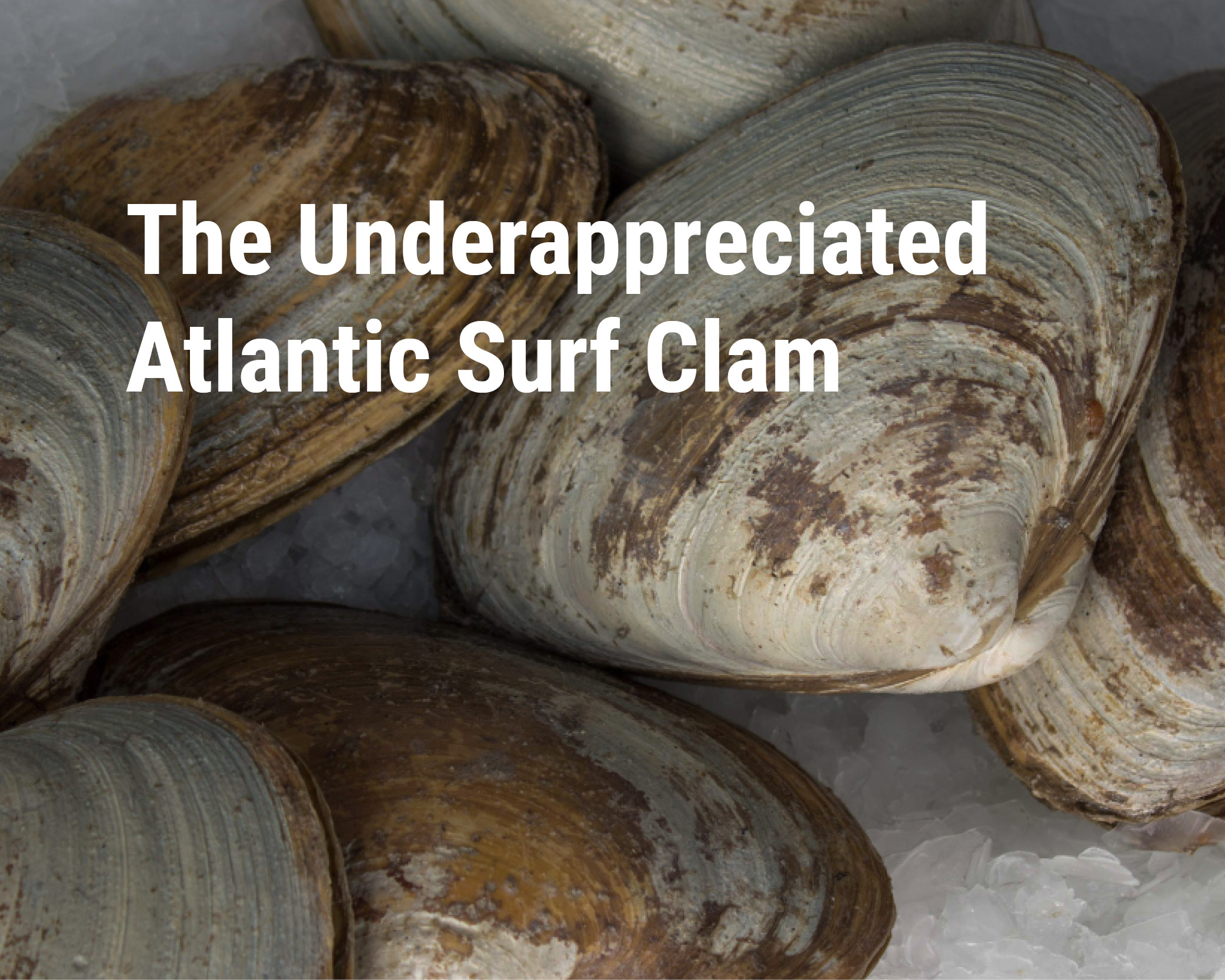 underappreciated surf clam.jpg