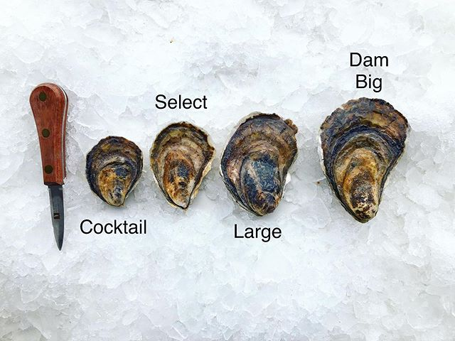 """Check out the beauty of our wide array of #Pemaquid oysters! Our inventory ranges from a cocktail at 3"""" all the way up to the Dam Big at 5""""+ as well as a standard cull! Which one will you try on first? #eatmoreoysters"""