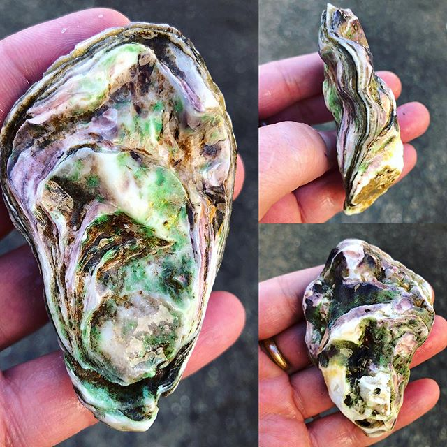 We had our first day over 75 degrees yesterday, so it's only fitting that #Kaipara is back in house. Most of the shells are white with stripes of purple and sometimes they have some green. They're bright on the outside and even brighter inside with a finish like salted melon rind! #eatmoreoysters #NewZealand #gigas