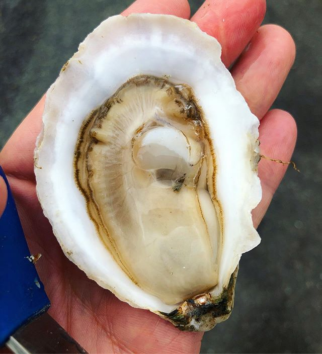 THIS JUST IN: Cadillac, ME is the early morning treat we seek. Time to take a test drive! #eatmoreoysters #CadillacOysters #MaineShellfish #MaineOysters