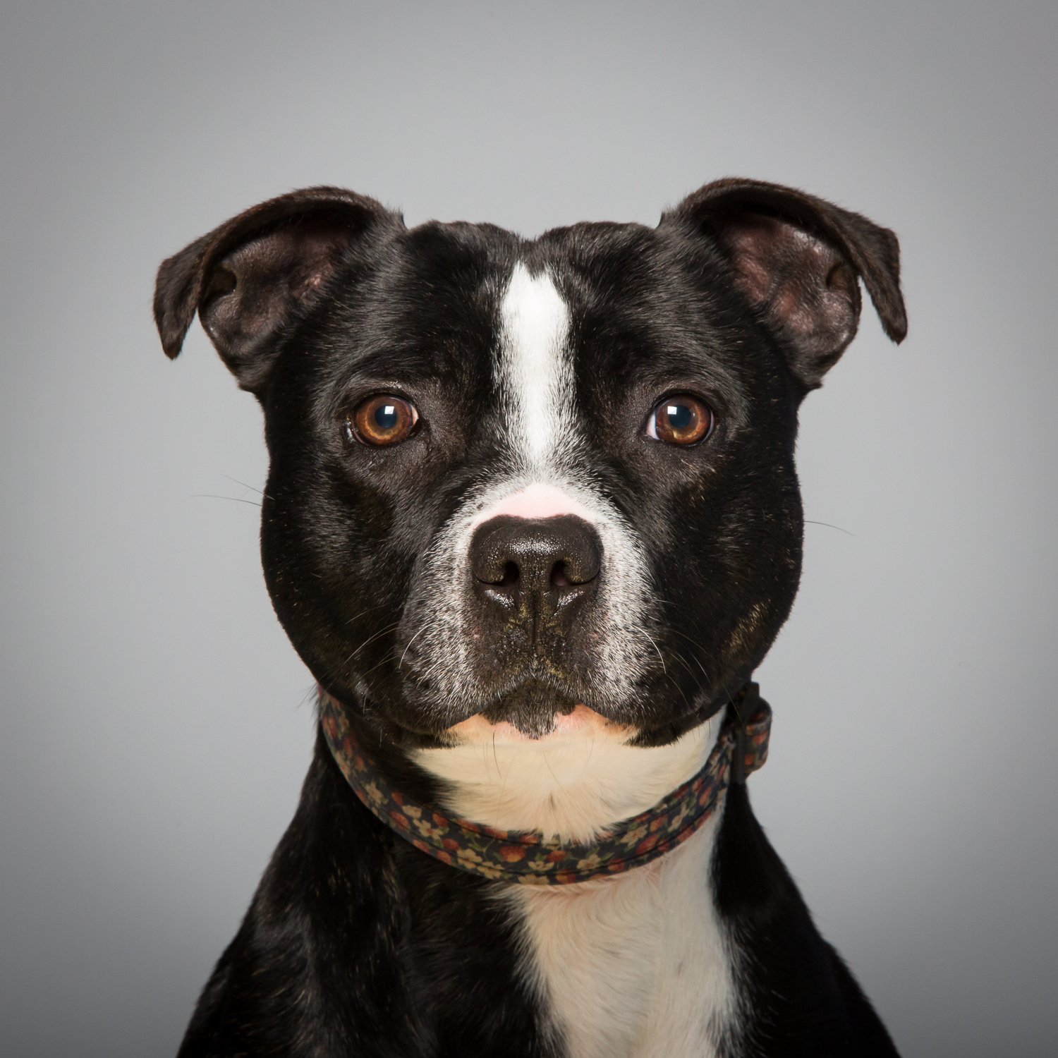 Nona the Staffordshire Bull Terrier. Rescue dog looking for a new home at  The Kit Wilson Trust