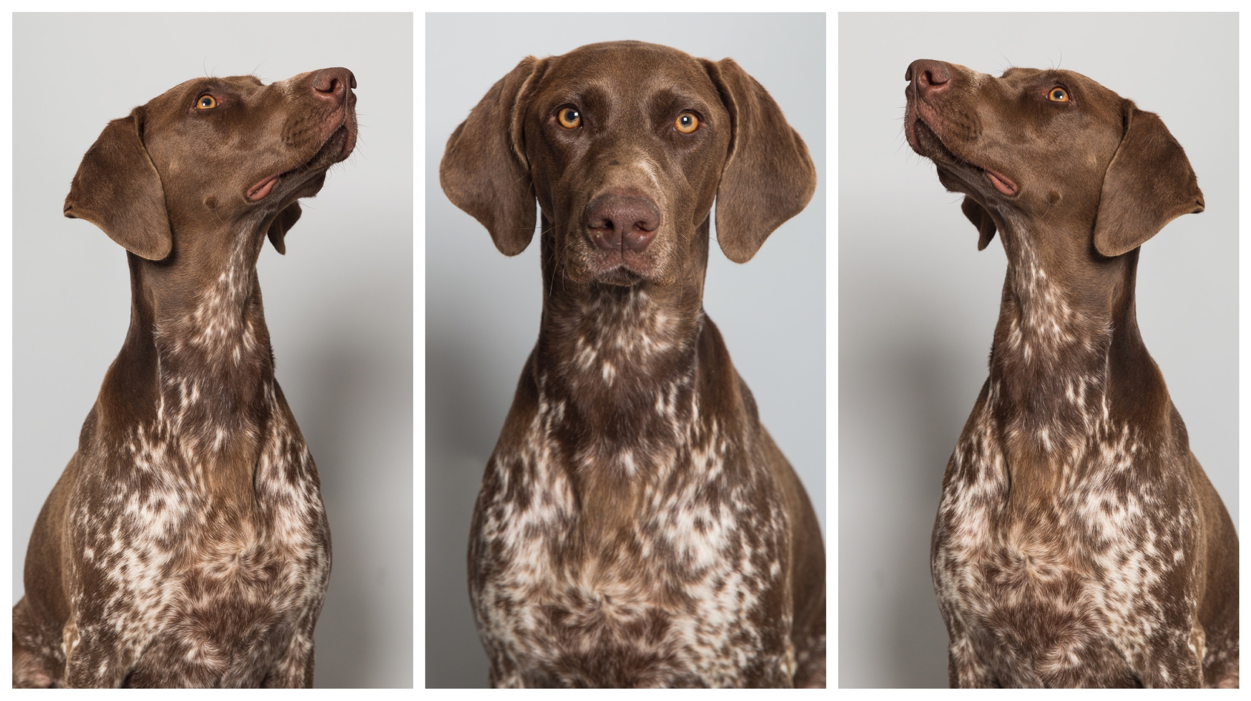 Bailey the german pointer. Private Commision