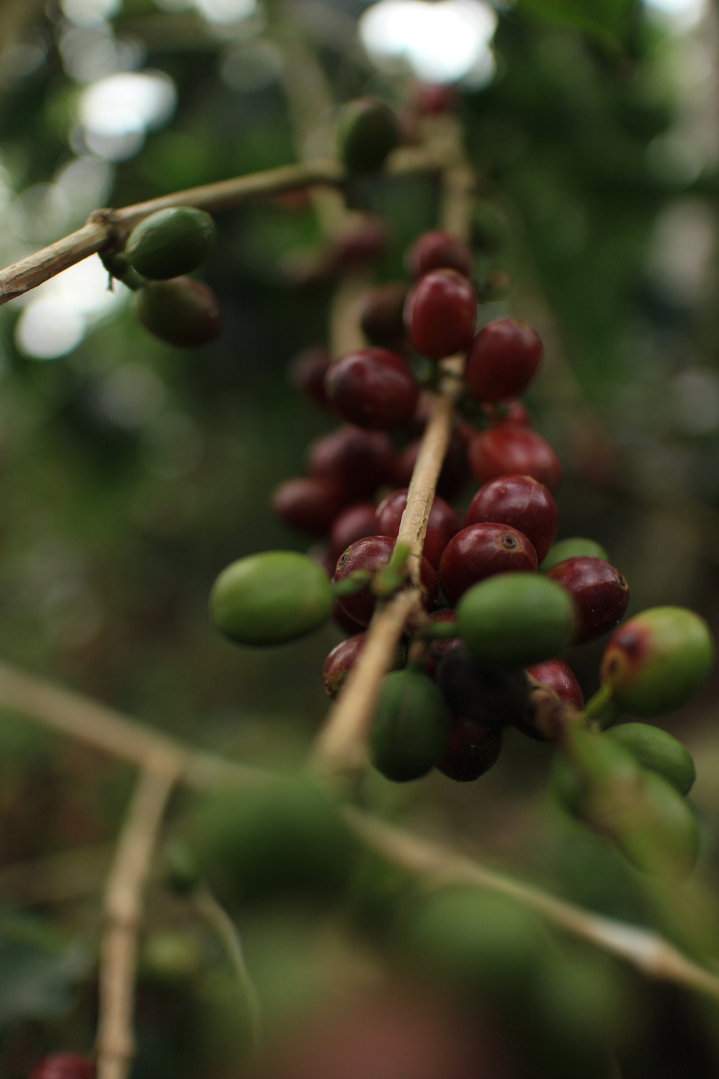 Coffee grows on the Sitio Belis farm.