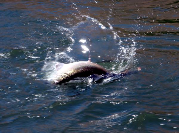 Steelhead thrashing in the Deschutes River.jpg