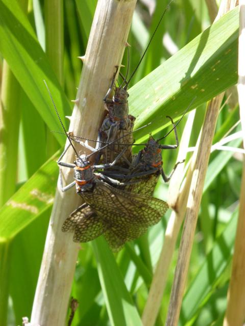 Salmonfly hatch.jpg