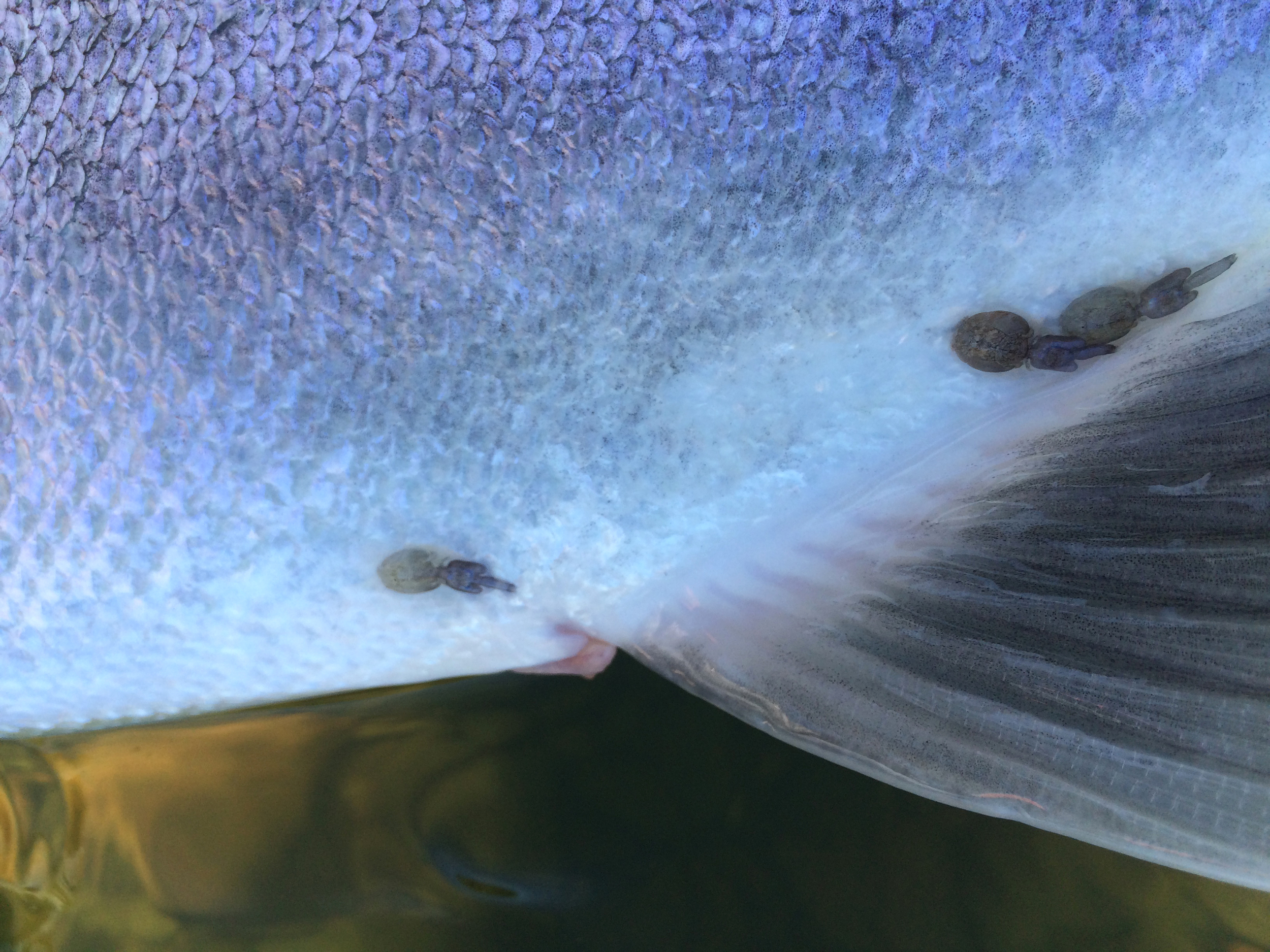 Sea lice still clinging to a beuatiful wild hen steelhead that we caught during an incoming tide.jpg
