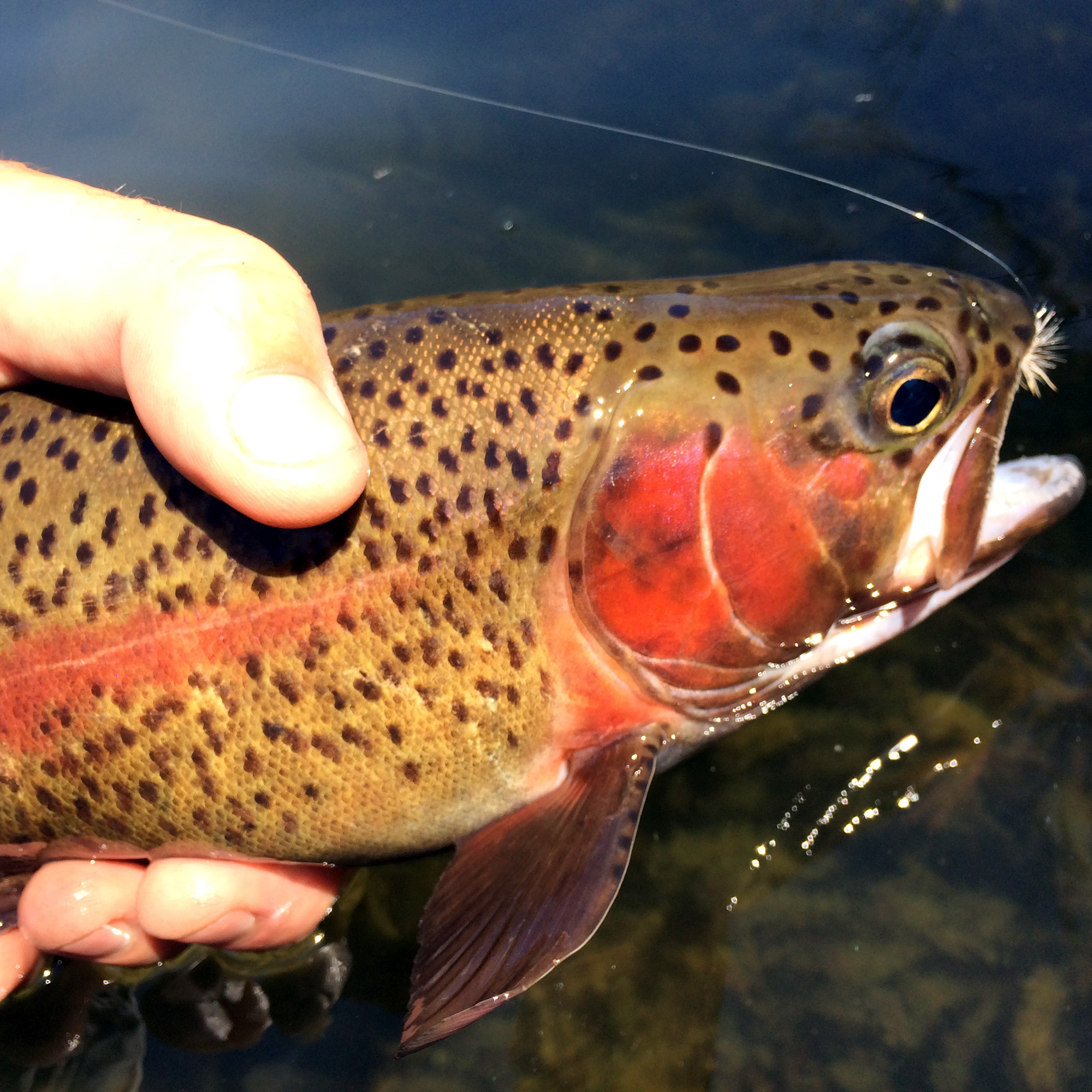 Small creek angler Alex Maxson was right at home bow casting and dapping under trees on the Deschutes, illustrating my point of fishing the stream within the river.
