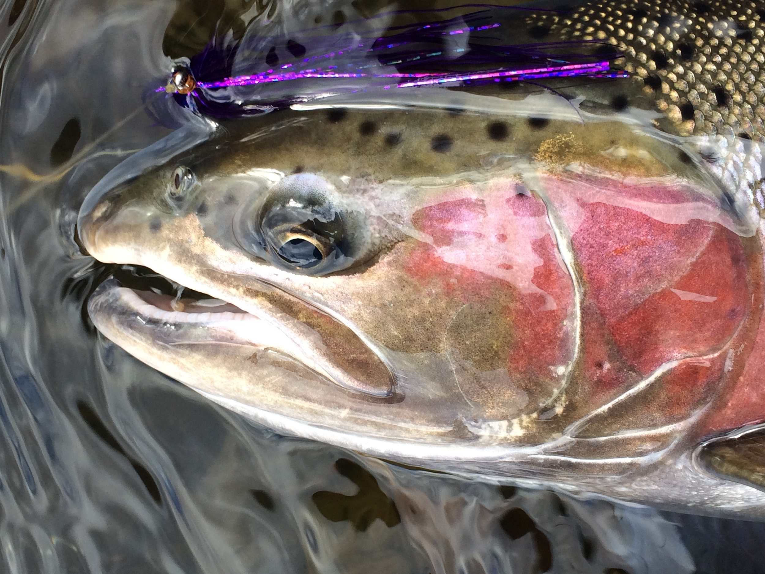 We did succumb to the murky water down stream of the White with light sink tips and unweighted flies for a good part of the season, very much against our will. Gotta produce.