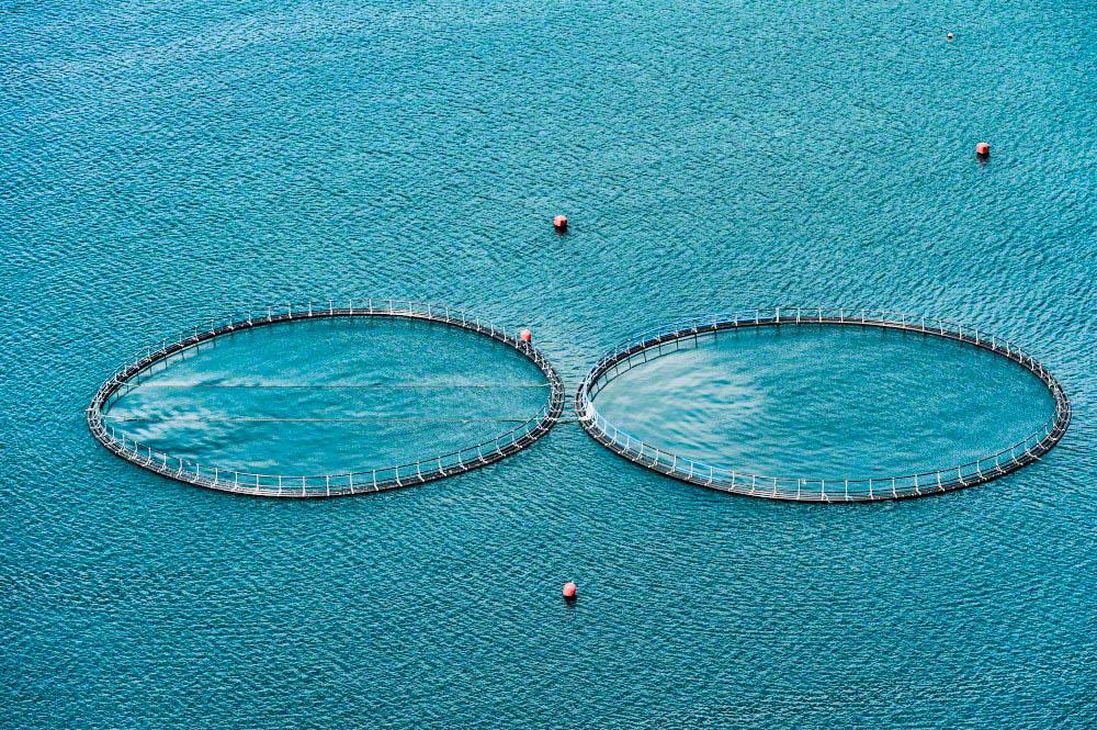 Atlantic salmon aquaculture