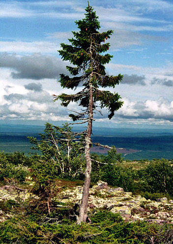 Paying homage to one of the planet's oldest and most profound sexual beings: Old Tjikko, a 9,550 year old (yes, you read it right) Norway Spruce, the oldest known living individual clonal tree, located in Sweden.