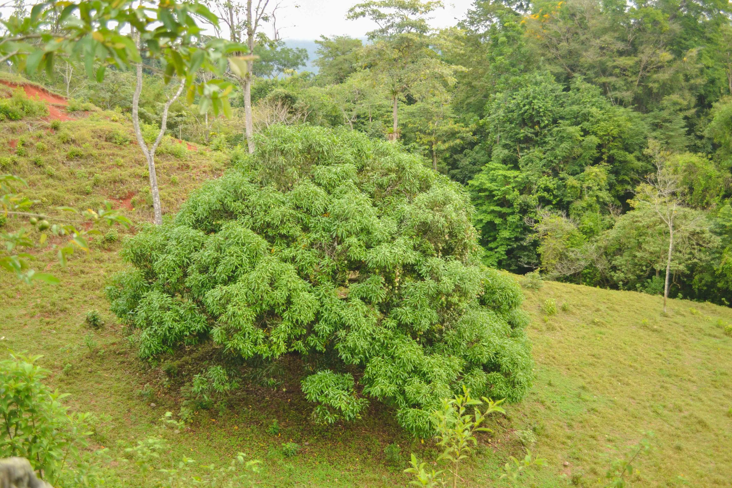 Manga tree: this tree on the neighboring farm's property produced huge female mangos (mangas) nearly the size of a football, so juicy and sweet to eat.