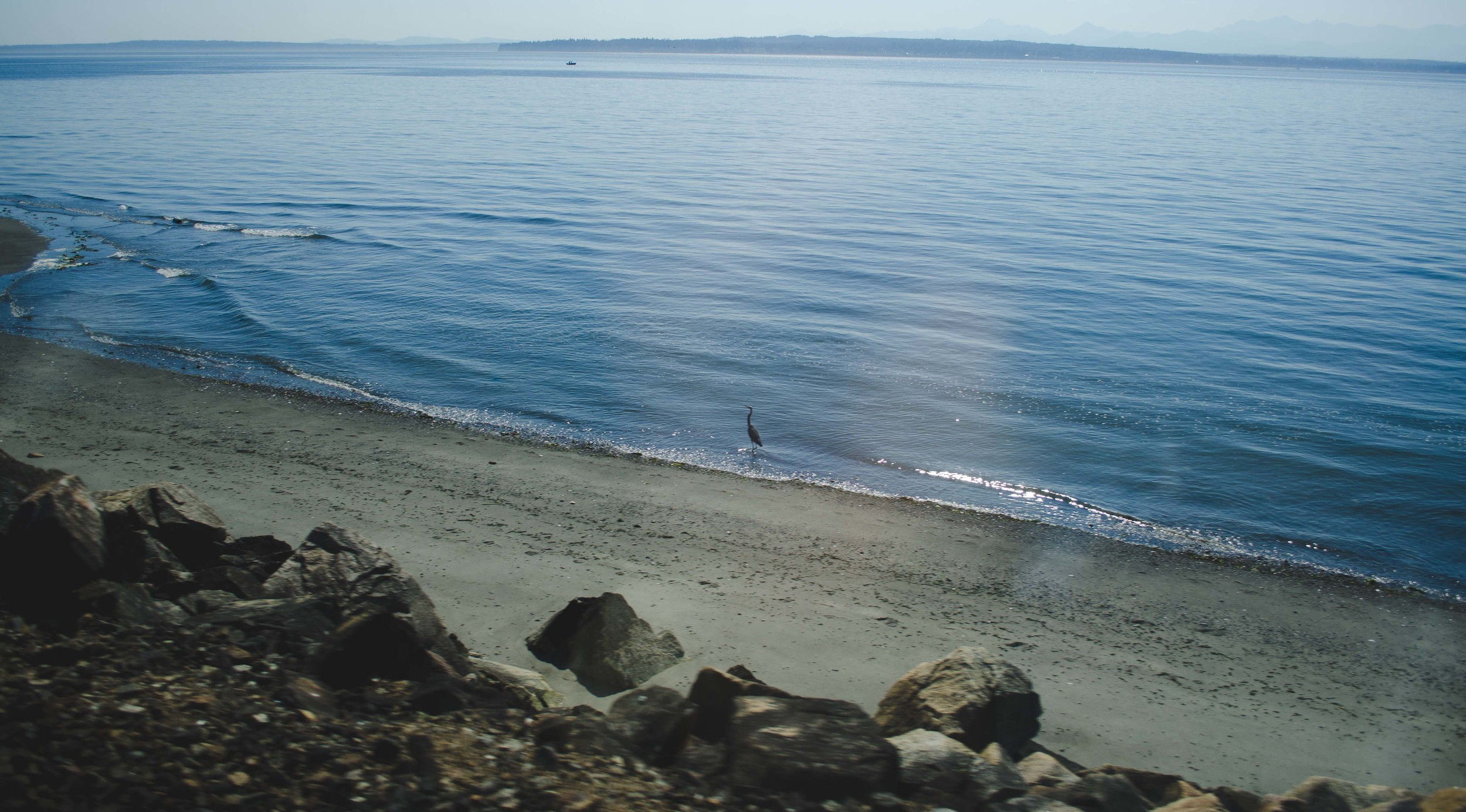 A heron walking along the shoreline