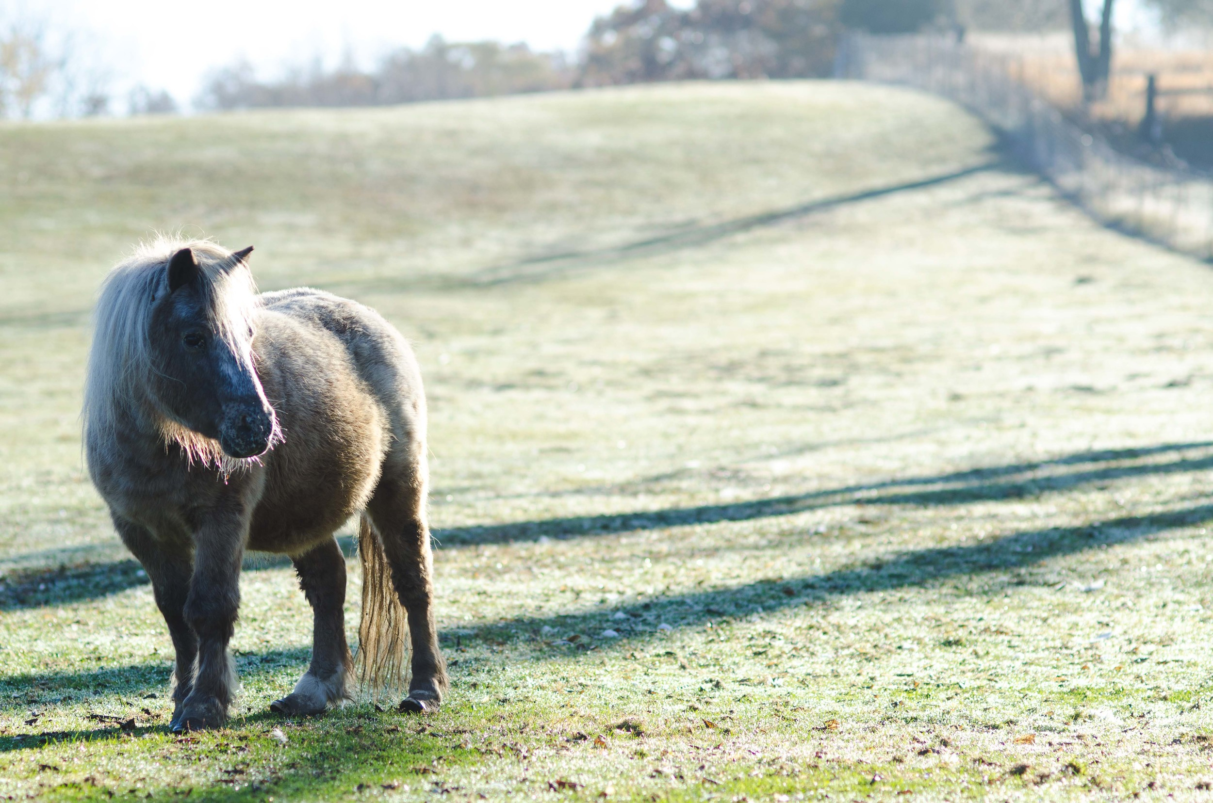 One of three miniature ponies on the farm on the field glittering with frost