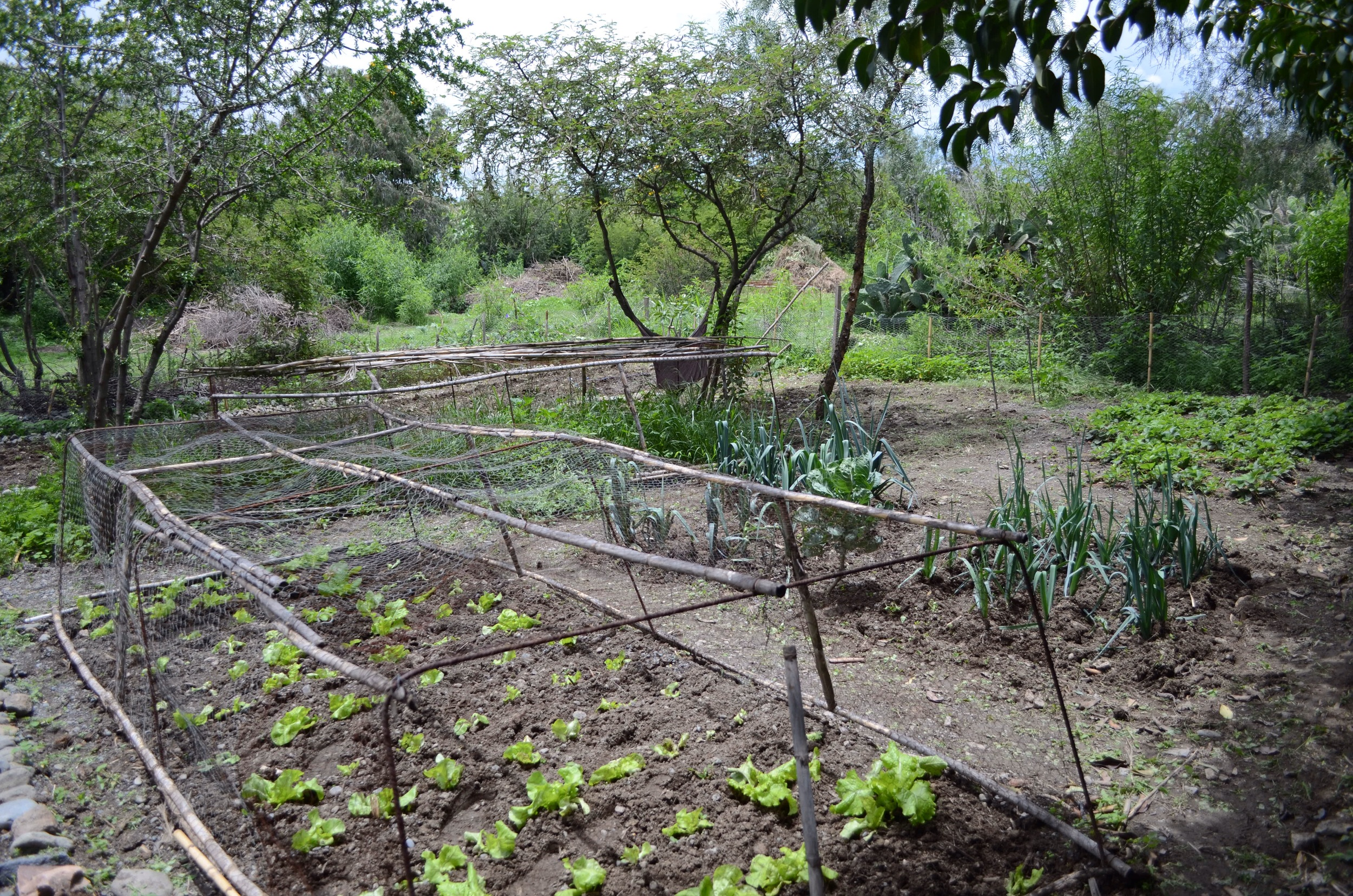 Main garden with lettuce, pole beans, onions, potatoes, strawberries, and squash