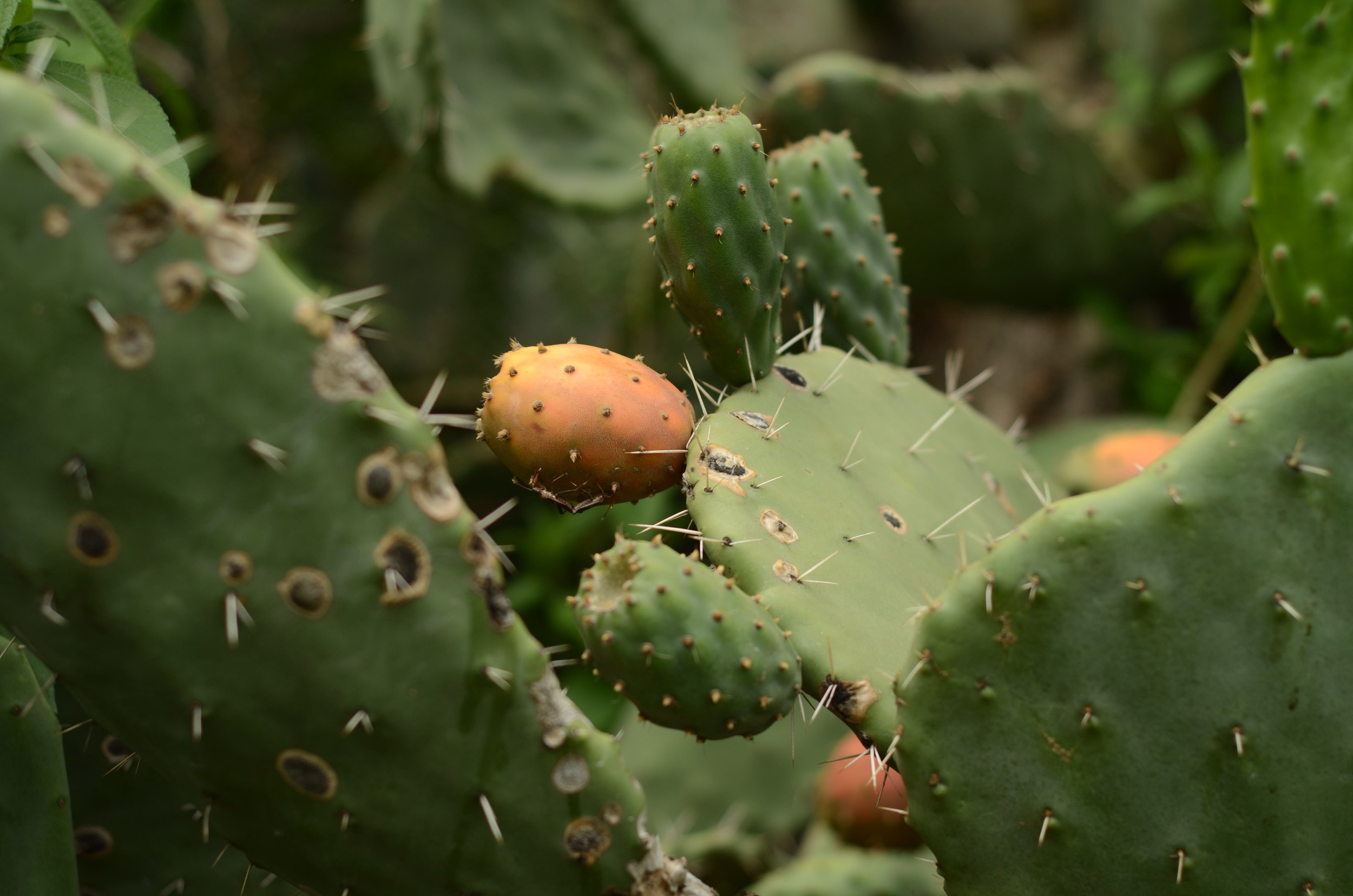 Cactus and its fruit,  tuna