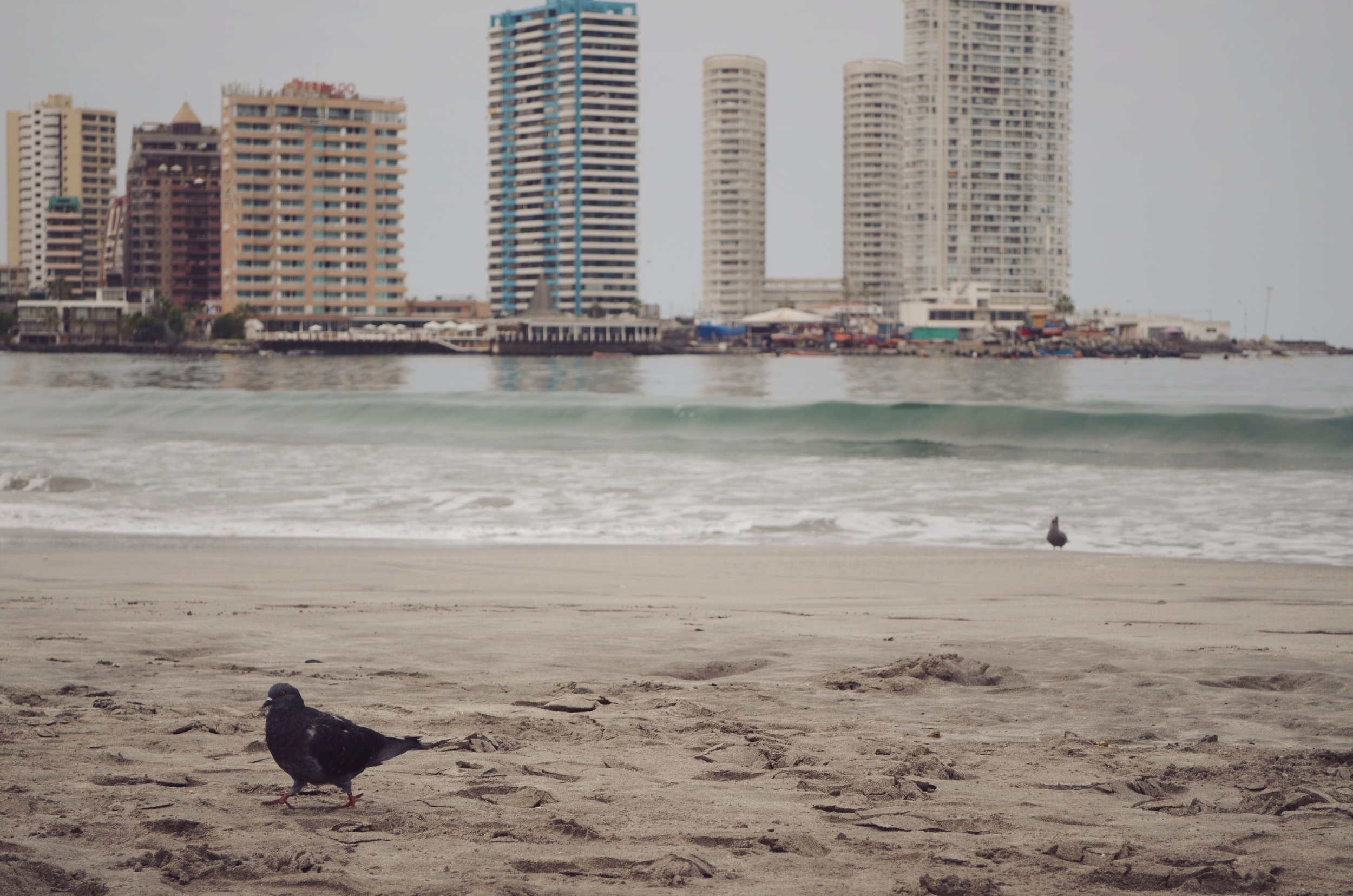 Mister pigeon on a cloudy morning shoreline // 5 april 2015