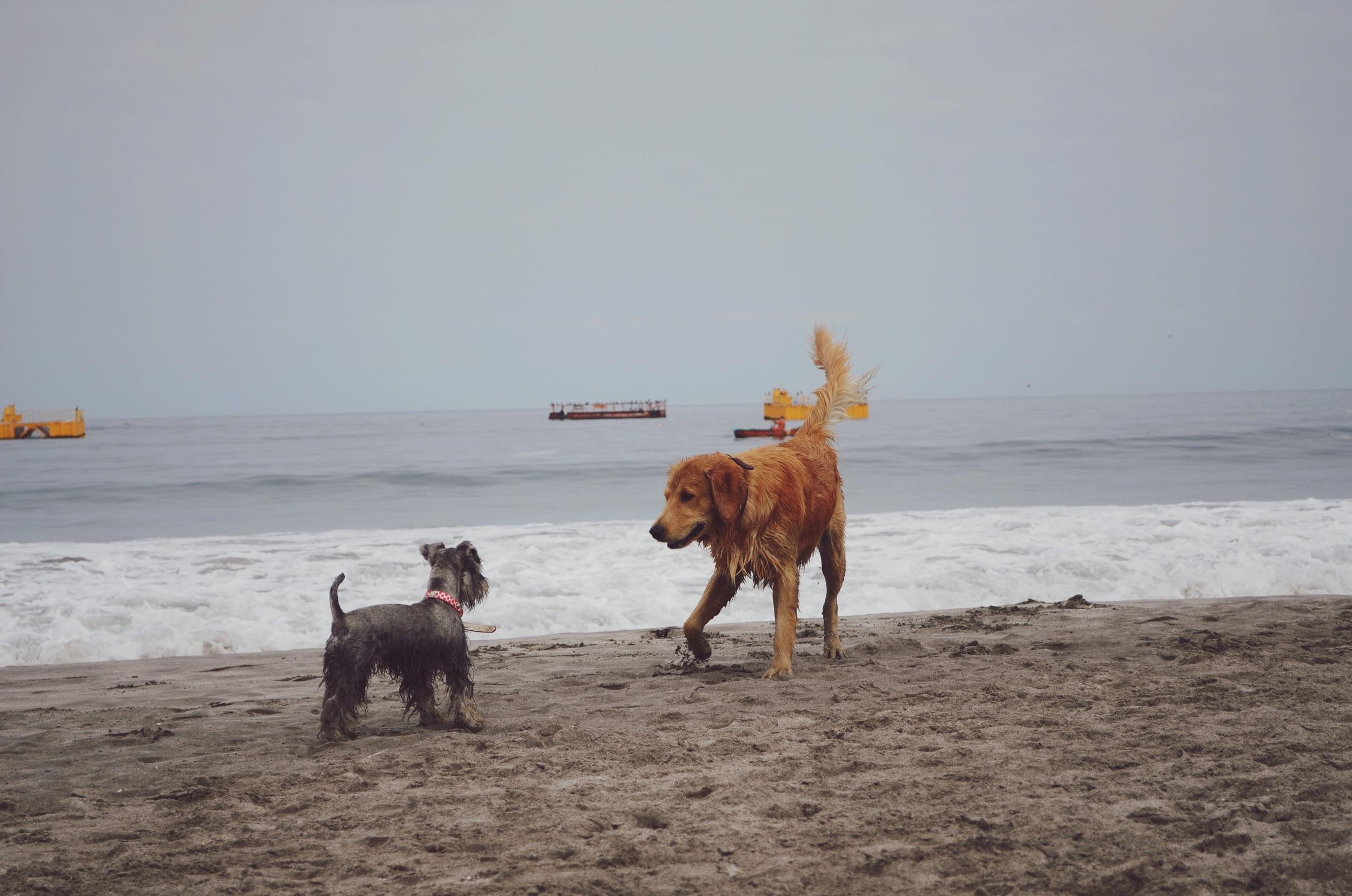 Furry friends meeting on Cavancha beach // 5 april 2015