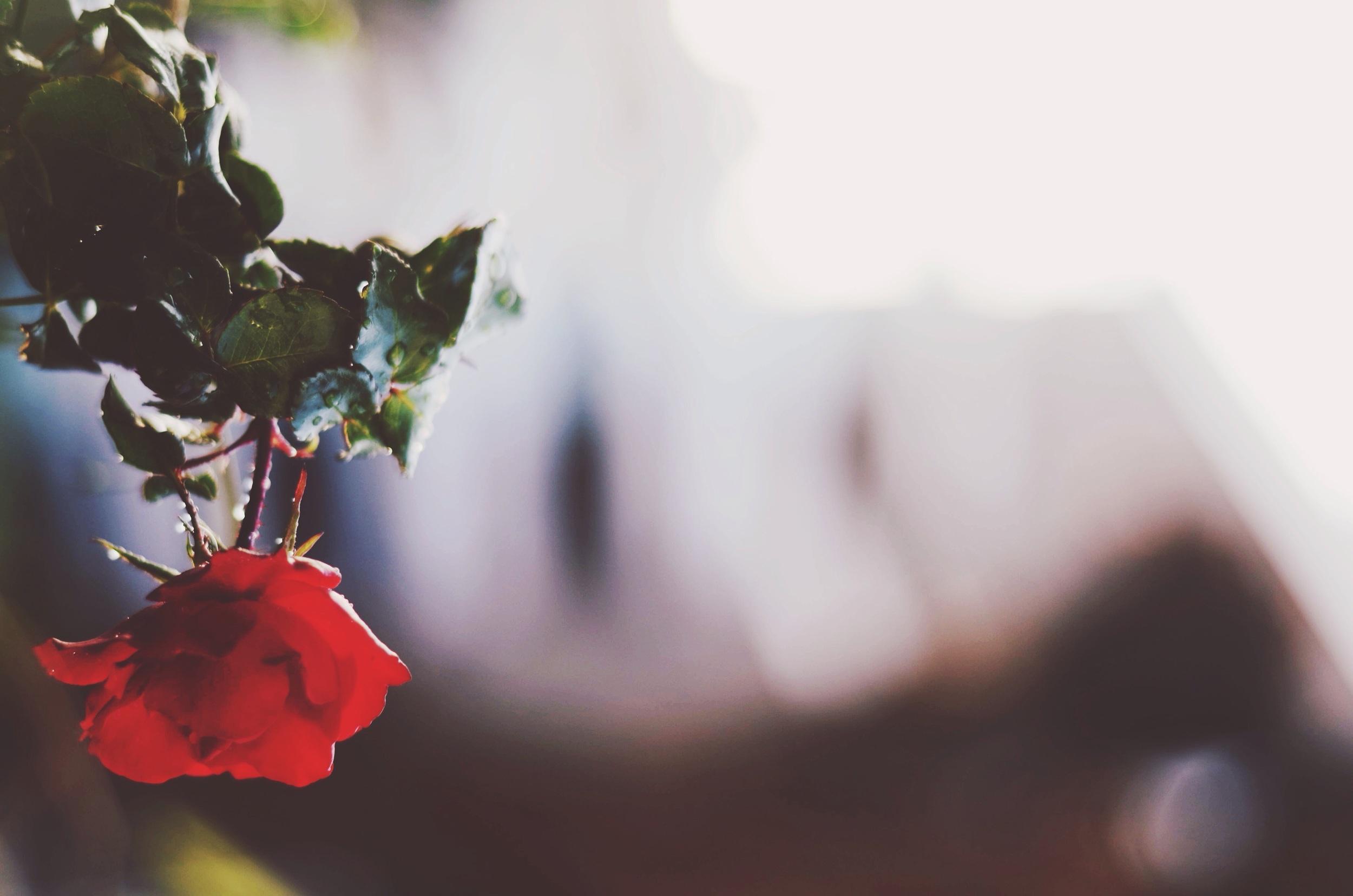 Rose in the window pot shelf // 27 may