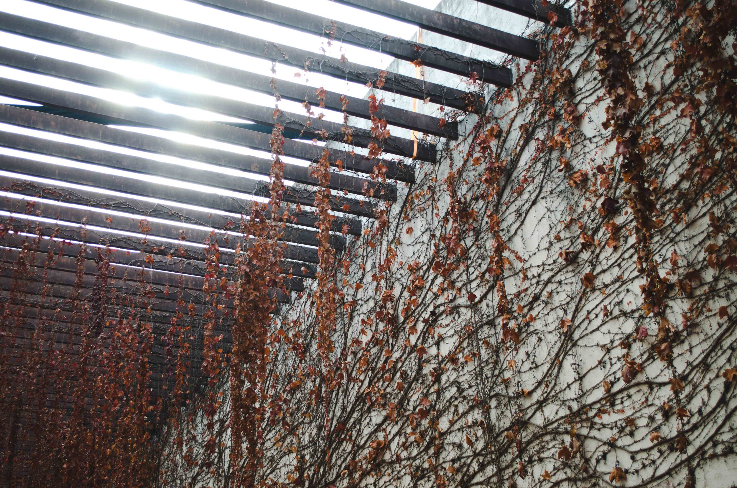 vines draped over the courtyard trellis